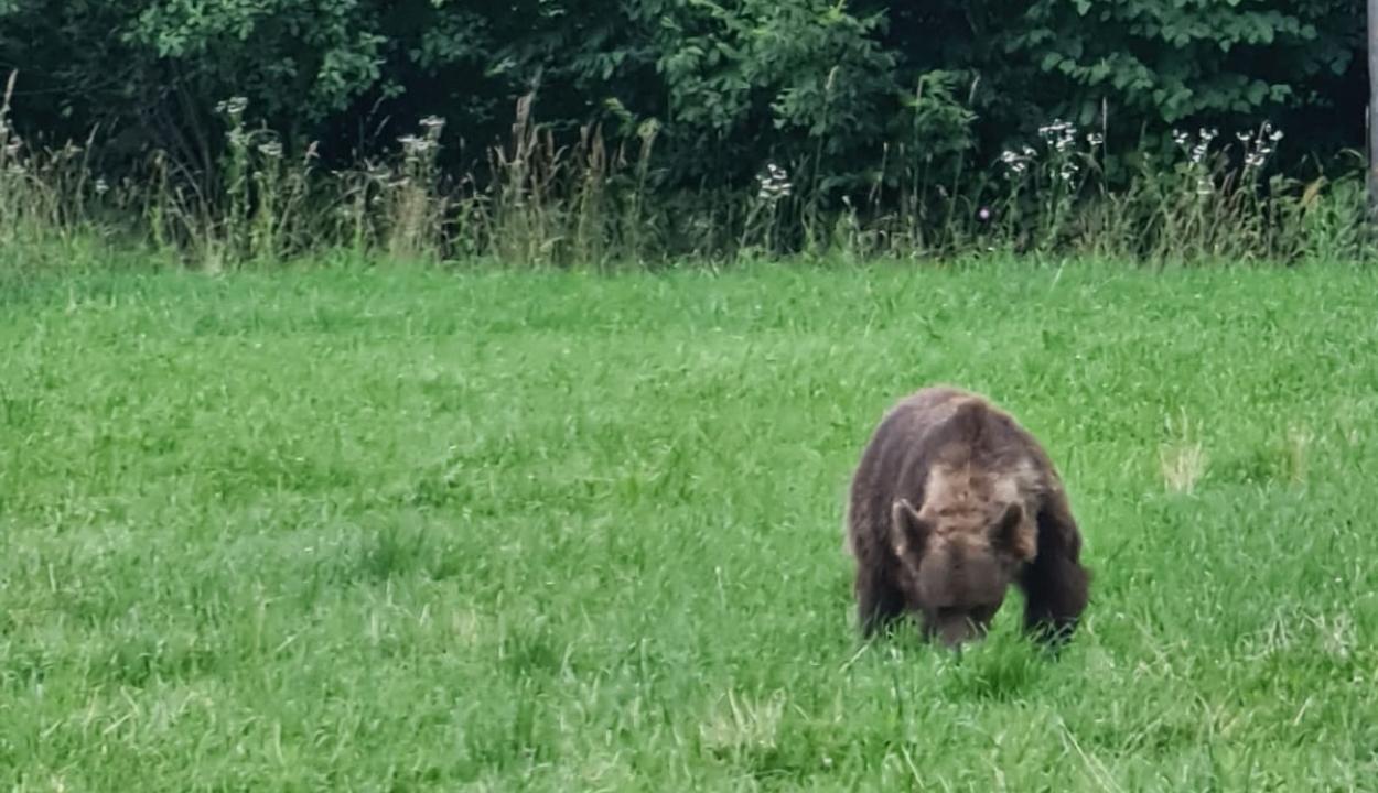 Medvével találkozott Tánczos Barna Sepsibükszádon