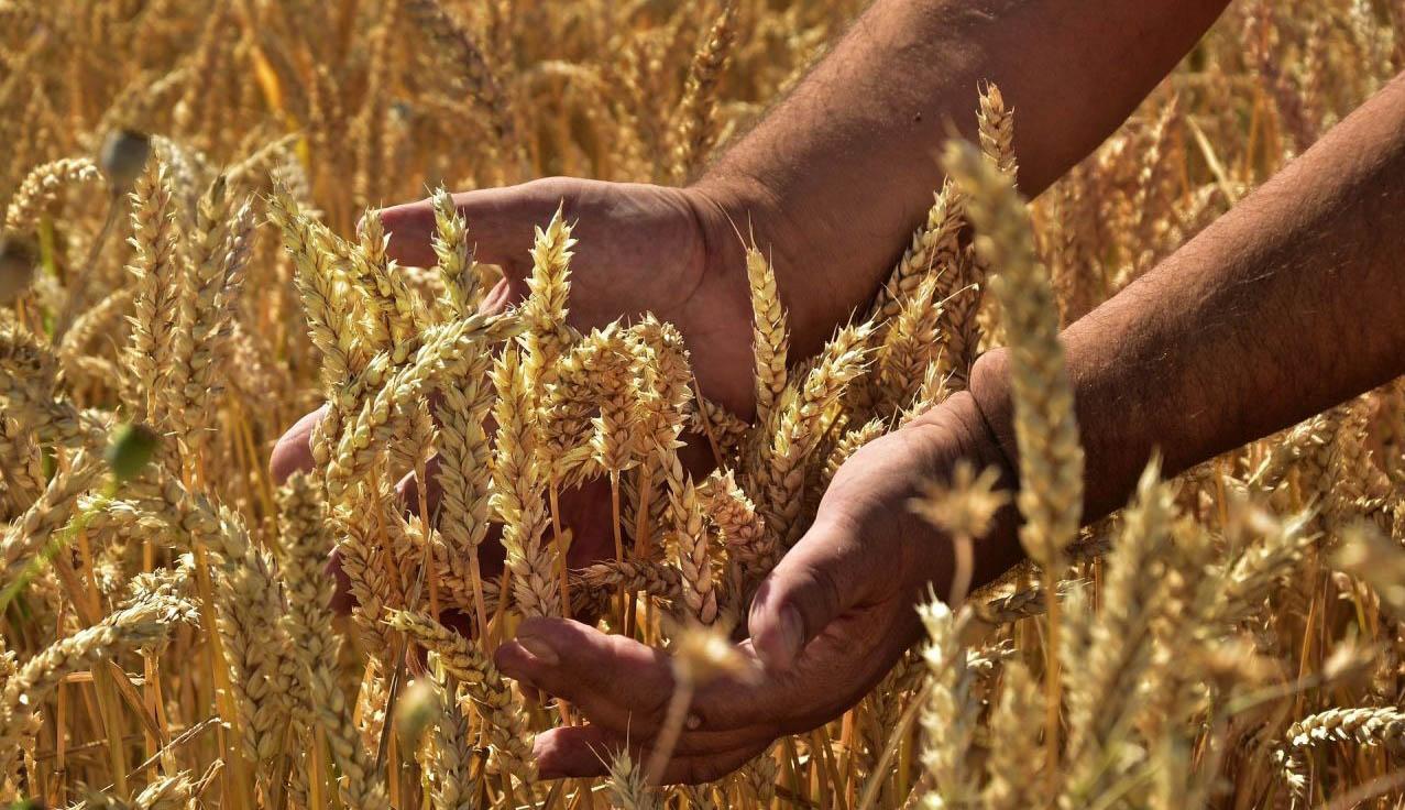 Jó gabonatermés várható
