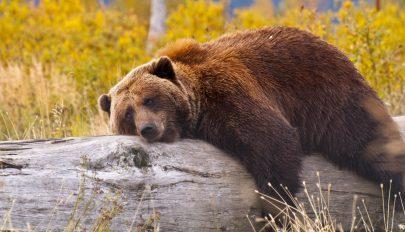 Medvékről a baróti tanácsban