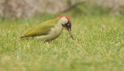 A zöld küllő lesz 2022-ben az év madara