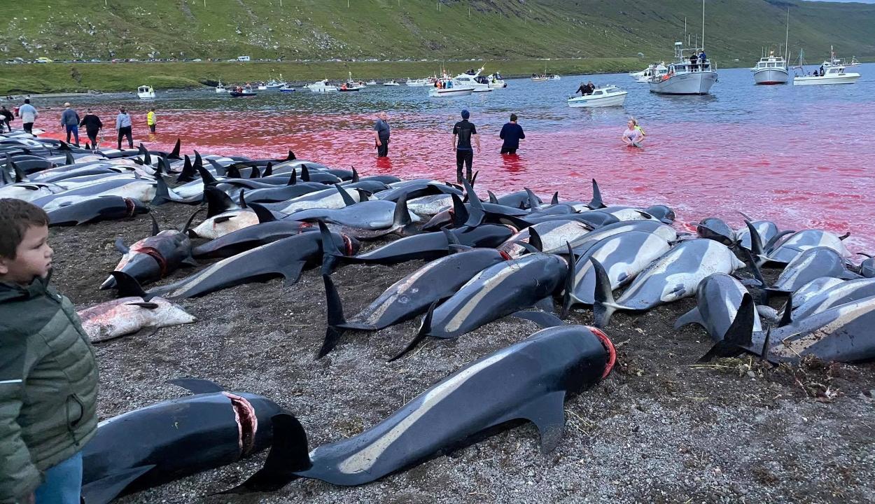 Több mint 1400 delfint mészároltak le a Feröer-szigeteknél