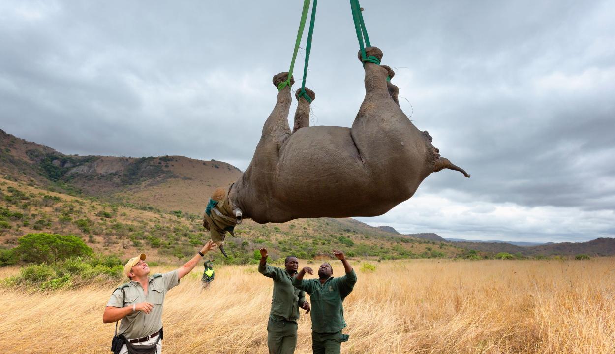 Ignobel-díjat ért a fejjel lefelé lógatott rinocéroszok vizsgálata