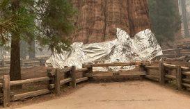 Alumíniumburkolattal védik a világ legnagyobb fáját az erdőtűztől