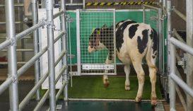 Az ammóniakibocsátás csökkentése érdekében vécéhasználatra szoktatják a szarvasmarhákat