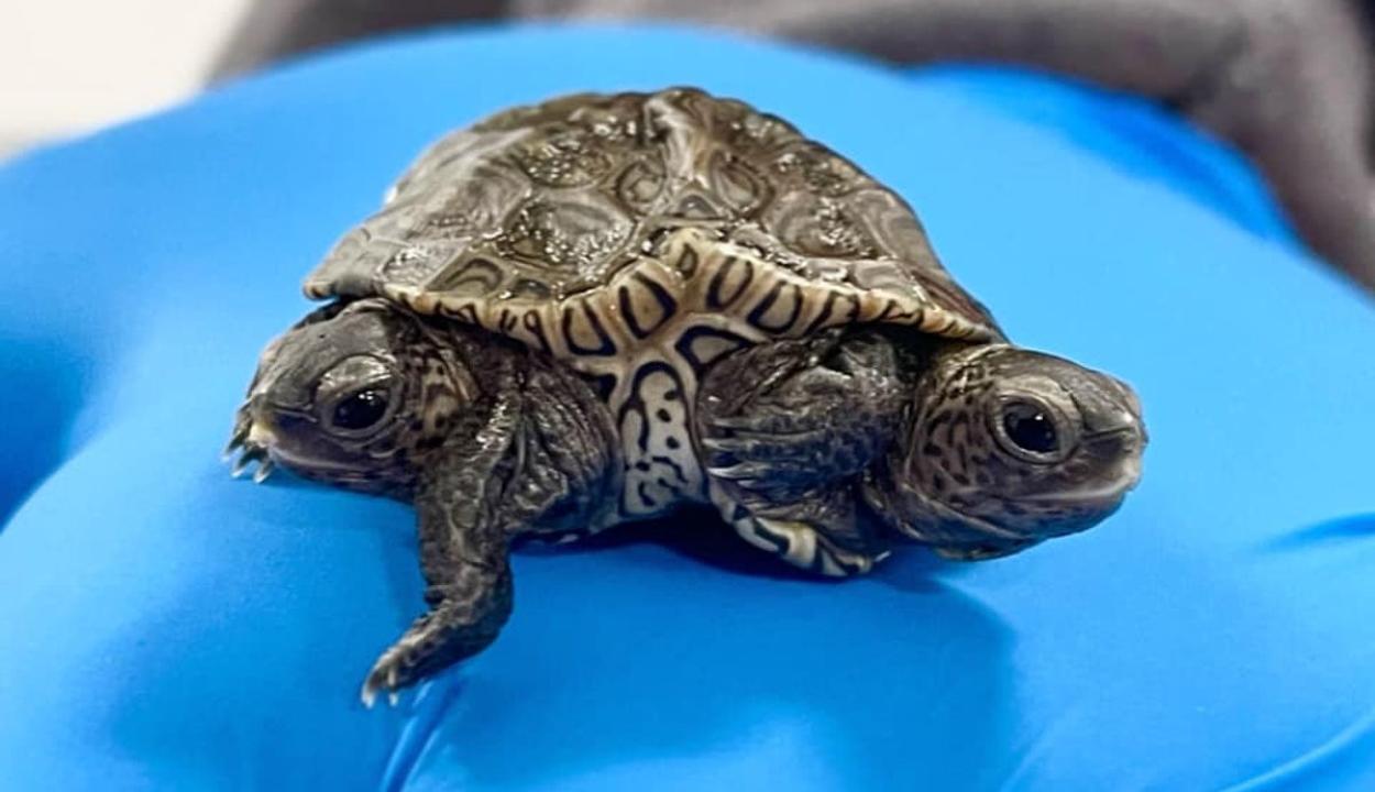 Hatlábú, kétfejű teknőst találtak az Egyesült Államokban